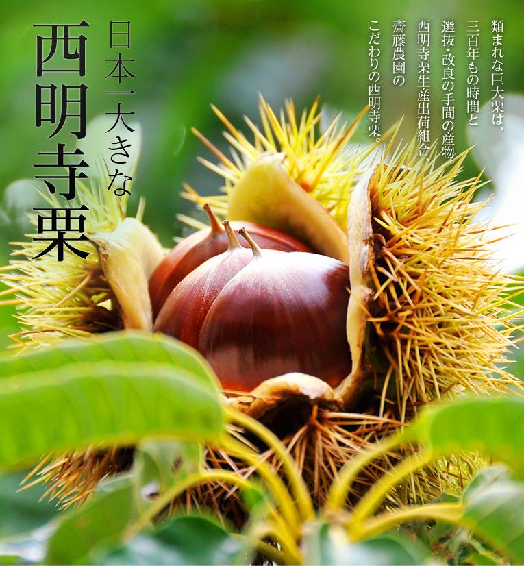 日本一大きな「西明寺栗」 類まれな巨大栗は、三百年もの時間と選抜・改良の手間の産物。西明寺栗生産出荷組合 齋藤農園のこだわりの西明寺栗