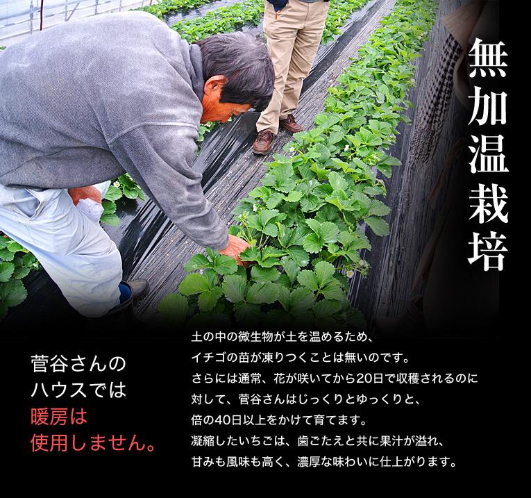 無加温栽培 菅谷さんのハウスでは暖房は 使用しません。 土の中の微生物が土を温めるため、イチゴの苗が凍りつくことは無いのです。さらには通常、花が咲いてから20日で収穫されるのに 対して、菅谷さんはじっくりとゆっくりと、倍の40日以上をかけて育てます。凝縮したいちごは、歯ごたえと共に果汁が溢れ、甘みも風味も高く、濃厚な味わいに仕上がります。