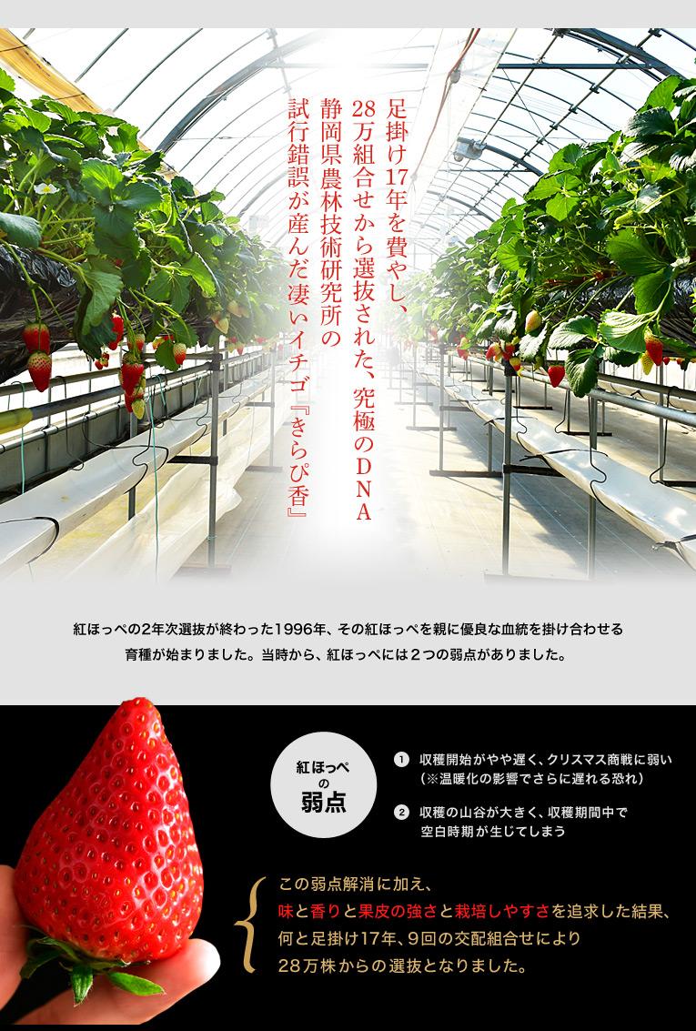 足掛け17年を費やし、28万組合せから選抜された、究極のDNA 静岡県農林技術研究所の試行錯誤が産んだ凄いイチゴ 『きらぴ香』 紅ほっぺの2年次選抜が終わった1996年、その紅ほっぺを親に優良な血統を掛け合わせる育種が始まりました。当時から、紅ほっぺには2つの弱点がありました。 ①収穫開始がやや遅く、クリスマス商戦に弱い※温暖化の影響でさらに遅れる恐れ ②収穫の山谷が大きく、収穫期間中で空白時期が生じてしまう この弱点解消に加え、味と香りと果皮の強さと栽培しやすさと味を追求した結果、何と足掛け17年、9回の交配組合せにより28万株からの選抜となりました。