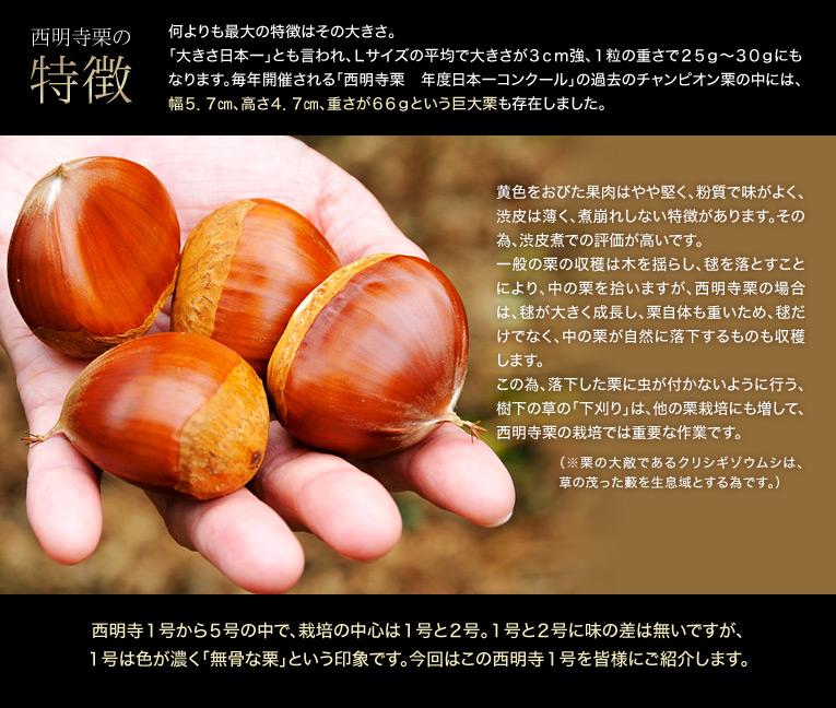 【西明寺栗の特徴】 何よりも最大の特徴はその大きさ。「大きさ日本一」とも言われ、Lサイズの平均で大きさが3cm強、1粒の重さで25g〜30gにもなります。毎年開催される「西明寺栗年度日本一コンクール」の過去のチャンピオン栗の中には幅5.7cm、高さ4.7cm、重さが66gという巨大栗も存在しました。黄色をおびた果肉はやや堅く、粉質で味がよく、渋皮は薄く、煮崩れしない特徴があります。その為、渋皮煮での評価が高いです。一般の栗の収穫は木を揺らし、毬を落とすことにより、中の栗を拾いますが、西明寺栗の場合は、毬が大きく成長し、栗自体も重いため、毬だけでなく、中の栗が自然に落下するものも収穫します。この為、落下した栗に虫が付かないように行う、樹下の草の「下刈り」は、他の栗栽培にも増して、西明寺栗の栽培では重要な作業です。(※栗の大敵であるクリシギゾウムシは、草の茂った藪を生息域とする為です。)