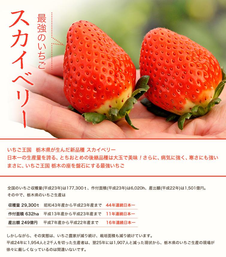 最強のいちご「スカイベリー」いちご王国 栃木県が生んだ新品種 スカイベリー。日本一の生産量を誇る、とちおとめの後継品種は大玉で美味!さらに、病気に強く、寒さにも強いまさに、いちご王国 栃木の座を盤石にする最強いちご 全国のいちご収穫量(平成23年)は177,300t、作付面積(平成23年)は6,020h、産出額(平成22年)は1,501億円。その中で、栃木県のいちご生産は 収穫量 29,300t 昭和43年産から平成23年産まで 44年連続日本一 作付面積 632ha 平成13年産から平成23年産まで 11年連続日本一 産出額 249億円 平成7年産から平成22年産まで 16年連続日本一  しかしながら、その実態は、いちご農家が減り続け、栽培面積も減り続けています。平成24年に1,954人と2千人を切った生産者は、翌25年には1,907人と減った現状から、栃木県のいちご生産の現場が徐々に厳しくなっているのは間違いないです。