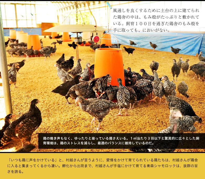 風通しを良くするために土台の上に建てられた鶏舎の中は、もみ殻がたっぷりと敷かれている。飼育100日を過ぎた鶏舎のもみ殻を手に取っても、においがない。鶏の鳴き声もなく、ゆったりと座っている鶏さえいる。1㎡当たり3羽以下と驚異的に広々とした飼育環境は、鶏のストレスを減らし、最適のバランスに維持しているのだ。「いつも鶏に声をかけている」と、村越さんが言うように、愛情をかけて育てられている鶏たちは、村越さんが鶏舎に入ると集まってくるから凄い。孵化から出荷まで、村越さんが手塩にかけて育てる青森シャモロックは、抜群の旨さを誇る。