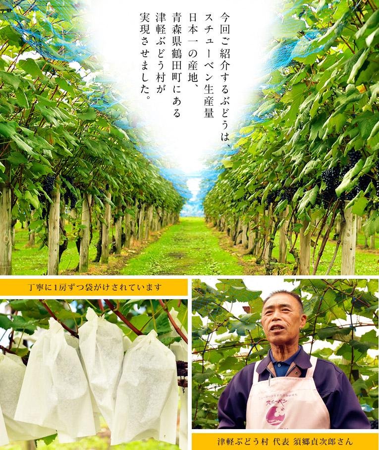 今回ご紹介するぶどうは、スチューベン生産量日本一の産地、青森県鶴田町にある津軽ぶどう村が実現させました。丁寧に1房ずつ袋がけされています。津軽ぶどう村代表 須郷貞次郎さん