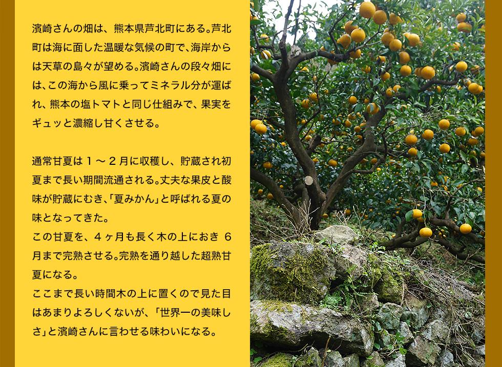 濱崎さんの畑は、熊本県芦北町にある。芦北町は海に面した温暖な気候の町で、海岸からは天草の島々が望める。濱崎さんの段々畑には、この海から風に乗ってミネラル分が運ばれ、熊本の塩トマトと同じ仕組みで、果実をギュッと濃縮し甘くさせる。通常甘夏は1〜2月に収穫し、貯蔵され初夏まで長い期間流通される。丈夫な果皮と酸味が貯蔵にむき、「夏みかん」と呼ばれる夏の味となってきた。この甘夏を、4ヶ月も長く木の上におき6月まで完熟させる。完熟を通り越した超熟甘夏になる。ここまで長い時間木の上に置くので見た目はあまりよろしくないが、「世界一の美味しさ」と濱崎さんに言わせる味わいになる。