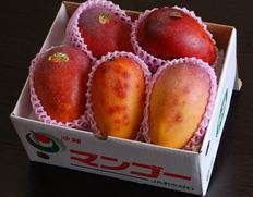 台風の影響で傷ついた沖縄マンゴーが築地へ大量入荷!お買い得