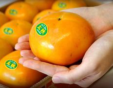 黒い筋「条紋」が入ったら食べ頃!熊本県産「太秋柿」